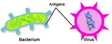 antigens