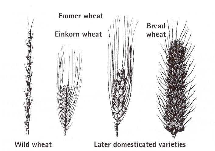 wheatdomesticated