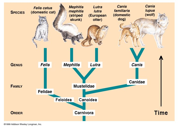 Carnivore Feline Felis Mustelidae Canine Canis Classification