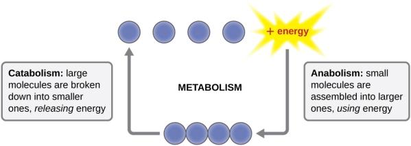 Metabolism includes catabolism and anabolism
